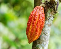 Ripe cacao bean on the wood Stock Images