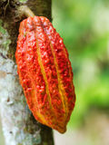 Ripe cacao bean on the wood Royalty Free Stock Images