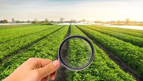 The food scientist checks the potato for chemicals and pesticides. Study quality of soil and crop. Growing organic vegetables. Eco. Friendly products. Pomology stock photography
