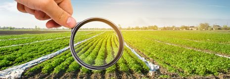 The food scientist checks the potato for chemicals and pesticides. Study quality of soil and crop. Growing organic vegetables. Eco. Friendly products. Pomology stock image