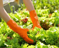 Woman in orange gloves working in the garden Royalty Free Stock Images