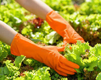 Woman in orange gloves working in the garden Royalty Free Stock Image