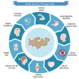 Foods infographics. Ginger root. Foods infographics. Health benefits of ginger root Stock Image