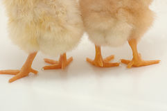 Foot. A couple of chickens from behind Royalty Free Stock Photography