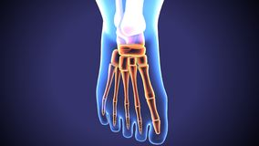 3d illustration of baby foot bones anatomy. The foot is an anatomical structure found in many vertebrates. It is the terminal portion of a limb which bears vector illustration