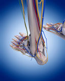 The foot anatomy. Medically accurate illustration of the foot anatomy stock illustration