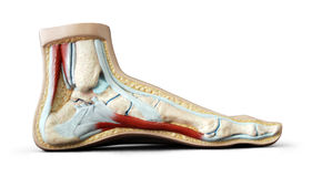 Foot anatomy Royalty Free Stock Images