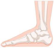Foot bone in closer look Royalty Free Stock Photos
