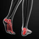 Foot bone Stock Photography