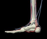 Foot Bones, Arteries and Veins. Highly detailed model with foot bones, arteries and veins side view Stock Photography