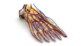 Foot bones with blood vessels and nerves perspective view. The feet are flexible structures of bones, joints, muscles, and soft tissues that let us stand upright Stock Image