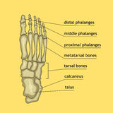 Foot bones with explanation. Vector illustration of foot bones with explanation. Skeleton part for medical or health care design. Anatomy guide skeletal human Stock Photo