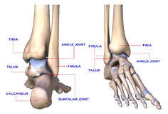 Foot bones. The illustration of  foot bone on the white background Royalty Free Stock Photos