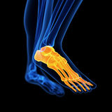 The foot bones Stock Images
