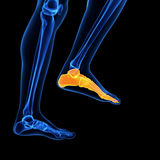 The foot bones. Medical illustration of the foot bones royalty free stock photography