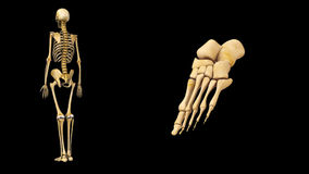 Foot bones. The foot (plural feet) is an anatomical structure found in many vertebrates. It is the terminal portion of a limb which bears weight and allows royalty free illustration