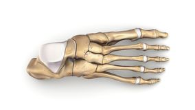 Foot bones top view. The phalanges are the bones that make up the fingers of the hand and the toes of the foot. There are 56 phalanges in the human body, with Royalty Free Stock Image