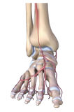 The foot bones stock illustration