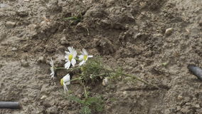 Foot in a boot stepping on a daisy. Flower crushed stock footage