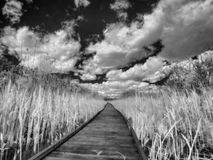 Foot bridge in reeds. Plank in swamp - footbridge through reed Royalty Free Stock Photography