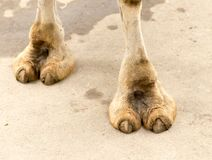 Foot camel. In the park in nature royalty free stock image