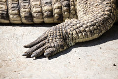 Foot of the crocodile in the zoo Stock Photo