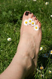 Foot with daisies between toes. Feemale foot on spring grass with daisies between toes Stock Photos