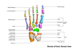 Foot Dorsal view. The phalanges are the bones that make up the fingers of the hand and the toes of the foot. There are 56 phalanges in the human body, with royalty free stock image