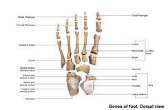 Foot Dorsal view Royalty Free Stock Photography