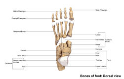 Foot Dorsal view. The phalanges are the bones that make up the fingers of the hand and the toes of the foot. There are 56 phalanges in the human body, with stock illustration