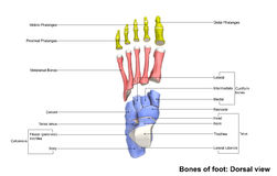 Foot Dorsal view. The phalanges are the bones that make up the fingers of the hand and the toes of the foot. There are 56 phalanges in the human body, with royalty free illustration