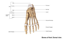 Foot Dorsal view Stock Photos