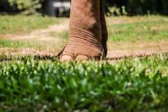 Foot of an elephant Stock Image