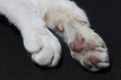 Foot and fool sole of white cat on black background floor. Cat foot. stock image