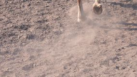 Foot of horse walking along the sand at the training area, close-up of horse legs on the ground, slow motion. Foot of horse walking along the sand at the stock footage