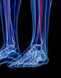 The foot. The human vascular system - the foot stock photos
