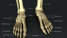 Foot Joints. Each foot is made up of 28 bones, 30 joints and more than 100 muscles, tendons and ligaments, all of which work together to provide support, balance Stock Images