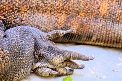 Foot of Komodo dragon Royalty Free Stock Photo