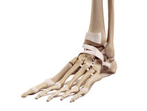 The foot ligaments Stock Photography