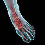 Foot muscle anatomy illustration Royalty Free Stock Photography