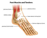 Foot Muscles and Tendons Stock Photography