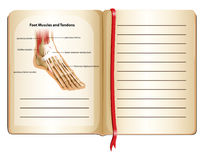 Foot muscles and tendons on page Royalty Free Stock Photos