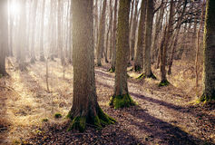 Foot path in forest. Sunlight through the trees. Royalty Free Stock Image