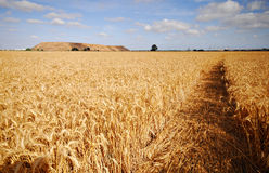 A foot path through a wheat fi Royalty Free Stock Photo