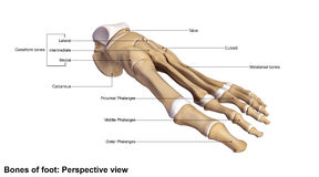 Foot Perspective view. The phalanges are the bones that make up the fingers of the hand and the toes of the foot. There are 56 phalanges in the human body, with royalty free stock photos