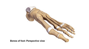 Foot Perspective view. The phalanges are the bones that make up the fingers of the hand and the toes of the foot. There are 56 phalanges in the human body, with Royalty Free Stock Image