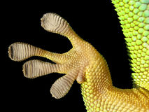 Foot of phelsuma. Beautiful detail of foot of phelsuma Royalty Free Stock Photography