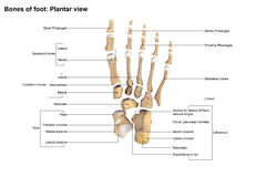Foot Planter view. The phalanges are the bones that make up the fingers of the hand and the toes of the foot. There are 56 phalanges in the human body, with royalty free stock image
