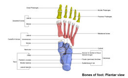 Foot Planter view. The phalanges are the bones that make up the fingers of the hand and the toes of the foot. There are 56 phalanges in the human body, with stock image