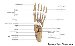Foot Planter view. The phalanges are the bones that make up the fingers of the hand and the toes of the foot. There are 56 phalanges in the human body, with royalty free stock photo